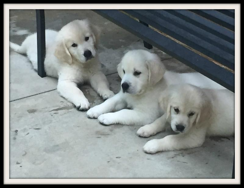 Noble Golden Retrievers Trained Puppies